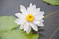 white lotus in the pool - PhotoDune Item for Sale