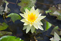 yellow lotus flower in the garden - PhotoDune Item for Sale