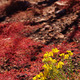 red succulent and bright yellow desert wildflowers, - PhotoDune Item for Sale