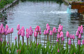 Beautiful pink spring tulips - PhotoDune Item for Sale