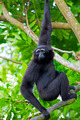 Siamang Gibbon - PhotoDune Item for Sale