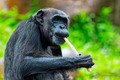 Common Chimpanzee - PhotoDune Item for Sale