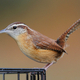 Carolina Wren - PhotoDune Item for Sale