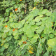 Nasturtium Plant - PhotoDune Item for Sale