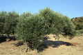 Olive tree - PhotoDune Item for Sale
