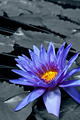 Tropical Waterlily - PhotoDune Item for Sale