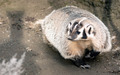 North American Short Legged Badger Wild Animal Mustelidae Family - PhotoDune Item for Sale