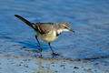 Cape wagtail - PhotoDune Item for Sale