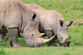 White rhinoceros feeding - PhotoDune Item for Sale