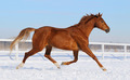 Sorrel Horse Running on snow manege - PhotoDune Item for Sale