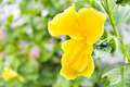 Yellow hibiscus - PhotoDune Item for Sale