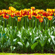 Tulip flowers garden in spring background or pattern - PhotoDune Item for Sale