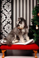 It's a Schnauzer Christmas - PhotoDune Item for Sale