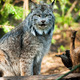 Wildcat Lynx Medium Sized Wild Animal Cat Genus Felis - PhotoDune Item for Sale
