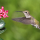 Anna's Hummingbird - PhotoDune Item for Sale