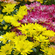 Colorful chrysanthemum flowers - PhotoDune Item for Sale
