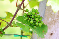 Young green grapes - PhotoDune Item for Sale