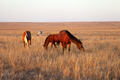 Horses grazing in pasture - PhotoDune Item for Sale