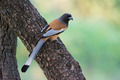 Indian Treepie - PhotoDune Item for Sale