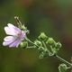 wild violet malva sylvestris - PhotoDune Item for Sale
