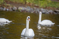 swans on a lake - PhotoDune Item for Sale