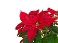 Red Poinsettia Flower - PhotoDune Item for Sale