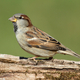 House Sparrow - PhotoDune Item for Sale