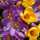 Purple and yellow crocus flowers - PhotoDune Item for Sale