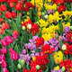 Colorful spring tulips garden - PhotoDune Item for Sale