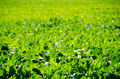 A field of sugar beet plants - PhotoDune Item for Sale