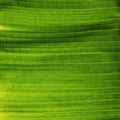Banana Leaf - PhotoDune Item for Sale