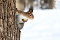 Red squirrel on tree trunk - PhotoDune Item for Sale