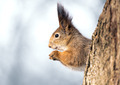 Squirrel on tree - PhotoDune Item for Sale