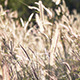 Reed Swaying In The Wind - VideoHive Item for Sale