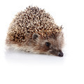 Prickly hedgehog - PhotoDune Item for Sale