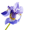 Flower of a blue iris.  - PhotoDune Item for Sale