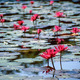 Pink water lilies - PhotoDune Item for Sale