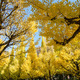 Ginkgo trees in garden, Tokyo, Japan - PhotoDune Item for Sale