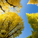 The ginkgo trees against blue sky - PhotoDune Item for Sale