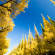 Ginkgo trees against blue sky - PhotoDune Item for Sale