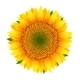 Sunflower isolated on white - GraphicRiver Item for Sale