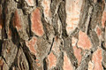 Closeup of the bark of a pine tree - PhotoDune Item for Sale