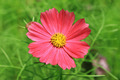 Close-up of Cosmos Flower - PhotoDune Item for Sale