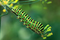 Swallowtail caterpillar - PhotoDune Item for Sale