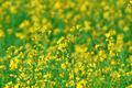 summer background: blooming canola - PhotoDune Item for Sale
