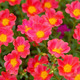 Red Portulaca flowers at the garden. - PhotoDune Item for Sale