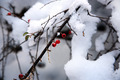 Berries in Snow - PhotoDune Item for Sale
