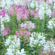 spider flower or cleome spinosa flower - PhotoDune Item for Sale