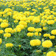 marigold flower field - PhotoDune Item for Sale