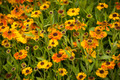 Helenium Flowers - PhotoDune Item for Sale